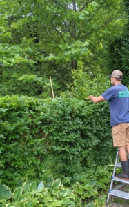 Brian prunes the top of the hedge, so he can trim the sections flat.