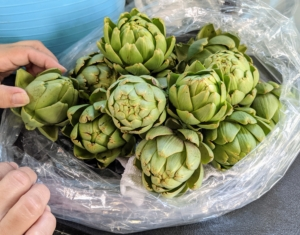 Look at all the artichokes - it's a great season for artichokes. Artichoke harvest starts in late July or early August and continues well until frost.