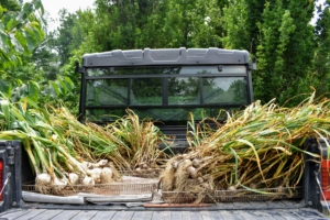 Here is the Polaris being used to carry our newly picked crop of garlic - all of it ready to move from the garden to the old corn crib for drying.