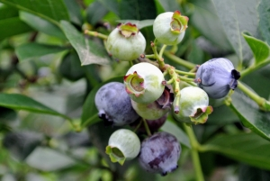 Blueberries are perennial flowering plants. They are classified in the section Cyanococcus within the genus Vaccinium. Vaccinium also includes cranberries, bilberries, huckleberries, and Madeira blueberries.