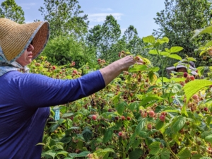 The first week of July is when we start picking the black and red raspberries. These bushes are all lush and exploding with delicious berries.
