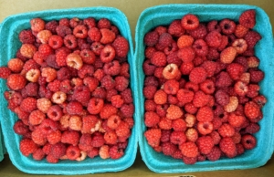 The raspberries are transferred into the boxes and taken up to my flower room where they can be stored in the fridge or the freezer.