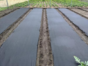 Early in June, the season's designated tomato beds are covered in black weed cloth to cut down on some of the laborious weeding in the garden. We planted our tomatoes in the back of the garden this year - always as part of our crop rotation practice.