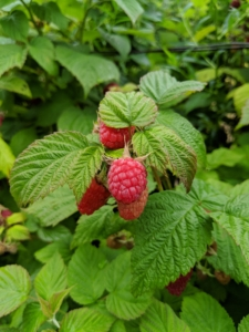 Keep in mind, only the ripe berries will slip off the stems easily.