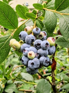 These bushes are so full! Bunches are hanging from nearly every branch. I grow many blueberry varieties, including 'Bluegold', 'Chandler', 'Darrow', 'Jersey', and 'Patriot'.