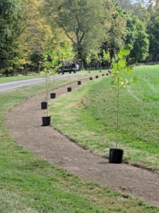 I chose to plant two rows of London plane trees - 46-trees in all. When selecting a location, always consider the tree's growth pattern, space needs, and appearance. London planes are easy to transplant. They can also develop massive trunks with spreading crowns, so they need lots of space.
