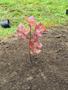 Smoke bushes have stunning dark red-purple foliage that turns scarlet in autumn and has plume-like seed clusters, which appear after the flowers and give a long-lasting, smoky haze to the branch tips.