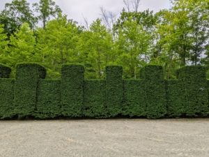 And here is the finished hedge – trimmed beautifully. It looks great. Next to be trimmed is the long European hornbeam hedge that runs along the back of my Summer House and Winter House. What pruning chores are you doing in your yard? Share with me in the comments section below.
