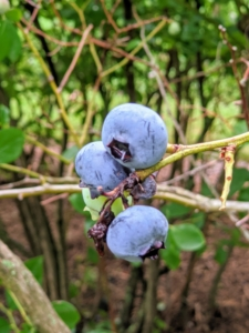 """They are also covered in a protective powdery epicuticular wax known as the """"bloom"""". These berries are just right for picking. Blueberries are high in fiber, high in vitamin-C, and contain one of the highest amounts of antioxidants among all fruits and vegetables."""