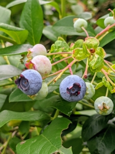 Blueberries are about five to 16 millimeters large with a flared crown at the end. They are pale greenish at first, and then reddish-purple and finally dark purple-blue when ripe for picking. When harvesting the fruits, select plump, full berries with a light gray-blue color. A berry with a hint of red is not fully ripened.