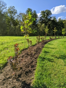 One year later in September of 2020, both the Cotinus and the London planes are established and growing beautifully.