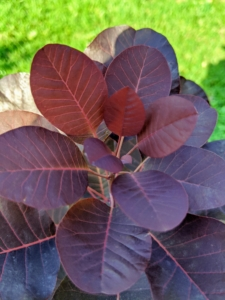 The leaves of these smoke bushes are waxy purple and are one and a half to three inches long, and ovate in shape.