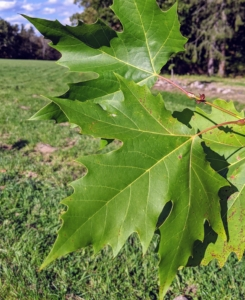 The London plane tree, Platanus × acerifolia, is a deciduous tree. It is a cross between two sycamore species: Platanus occidentalis, the American sycamore, and Platanus orientalis, the Oriental plane. This very large tree with maple-like leaves grows to roughly 75 to 100 feet with a spread of 60 to 75 feet. London planes grow in almost any soil – acidic or alkaline, loamy, sandy or clay. They accept wet or dry soil and grow best in full sun, but they also thrive in partial shade.