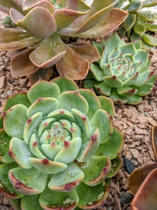 These succulents are planted in a long stone trough I bought several years ago from Trade Secrets. Notice the pink gravel used to top the soil surrounding these plants – it is the same pink gravel that covers the carriage roads at Skylands.