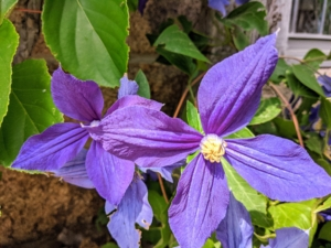 """The clematis is also blooming on the Skylands terrace. Clematis is a genus of about 300 species within the buttercup family Ranunculaceae. The name Clematis comes from the Greek word """"klematis,"""" meaning vine. Clematis are native to China and Japan and known to be vigorous growers. I have a long and winding pergola supported by granite uprights that are filled with clematis at my Bedford, New York farm."""