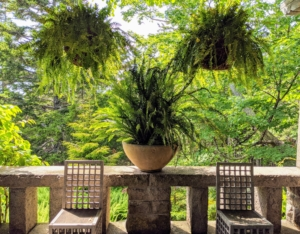 My West Terrace is where I often enjoy summer brunches under the kiwi vine covered pergola. The ferns, Nephrolepis exaltata 'Bostoniensis', are among the most popular varieties with its frilly leaves and long, hanging fronds.