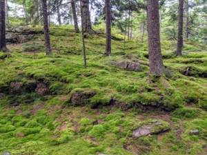 This part of the woodland is filled with beautiful moss. Mosses are small, non-vascular flowerless plants that typically form dense green clumps or mats, often in damp or shady locations.