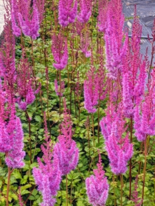 Growing at the end of our row of artichokes is our Astilbes. Astilbes are wonderful shade perennials, known for their dark green foliage and plume-like blossoms. Flowers bloom mid-summer and make charming fresh or dried cut flowers.