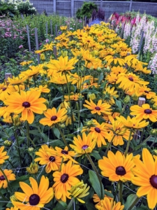 Rudbeckias are easy-to-grow perennials featuring golden, daisy-like flowers with black or purple centers, and include the popular black-eyed Susan. Rudbeckia's bright, summer-blooming flowers give the best effect when planted in masses in a border or wildflower meadow.