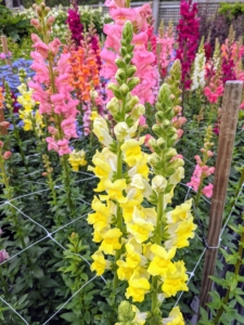 Snapdragons come in pastels and bright shades and are available in a variety of colors, including white, yellow, pink, red, orange, peach, purple and violet. Some varieties are bicolor, featuring two colors. All the tall flowers in the garden are supported by four inch netting.