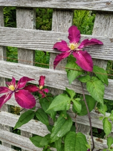 """Clematis is a genus of about 300 species within the buttercup family Ranunculaceae. The name Clematis comes from the Greek word """"klematis,"""" meaning vine. Clematis, pronounced KLEH-muh-tis, are native to China and Japan and known to be vigorous growers. This one is a deep pink color."""
