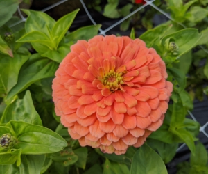Here is another zinnia in a creamy peach color. Zinnias do best in full sun, and although they are adaptable to most soil conditions, the ideal soil is rich in organic matter and well-drained.