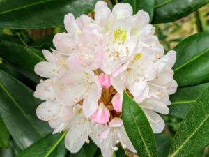 This rhododendron near one of my natural pools begins to bloom in July with gorgeous pale pink and white flowers. Rhododendrons are prized for these big, showy flower clusters and the glossy green foliage.