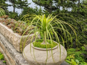 On the ledge, all the specimens we planted over Memorial Day Weekend are looking so beautiful. This is a ponytail palm, Beaucarnea recurvata - a species of plant in the family Asparagaceae. It has a sleek bulb-like trunk with lush, long leaves.
