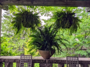 Every year, we always hang a series of fern-filled planters under the pergola on the Western Terrace - it adds such a lovely touch of greenery to the space. These ferns, Nephrolepis exaltata 'Bostoniensis', are among the most popular varieties with its frilly leaves and long, hanging fronds.