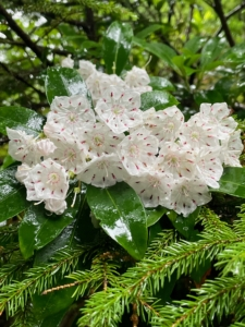 Mountain laurel is grown for its showy late spring and summer flowers and attractive, evergreen foliage. It's sometimes called a calico bush because the pink or white flowers usually have dark pink or maroon markings. Plant mountain laurel shrubs from spring after all danger of frost has passed, to summer in soil that is cool, moist but well-drained, and acidic in pH. They prefer part shade but will tolerate full sun. Avoid windy areas, if possible, especially in the northern part of the hardiness range.
