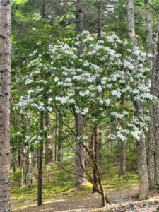 Mountain laurel is a relatively slow-growing shrub, adding about one foot per year. It is a good flowering shrub for mass plantings in shady borders, woodland gardens, or for foundation plantings.
