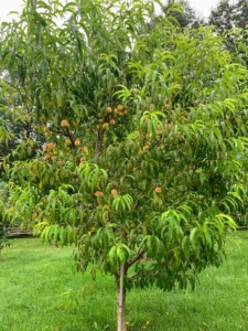 And here's a sneak peek... in a few weeks, we'll have many, many peaches to pick from my orchard - I can't wait.