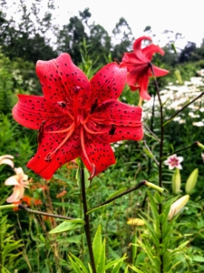 When handling lilies, it's a good idea to wear gloves and clothes you don't mind getting dirty. If you happen to get a pollen stain on your clothing, do not rub! Instead, reach for a roll of tape and use the sticky side to gently dab the area – the particles will adhere to the tape.