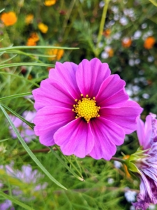 Here is a dark pink variety. Depending on the type of flower, cosmos can grow anywhere between 18 to 60 inches tall.