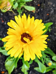 Growing low to the ground are some calendula plants. Calendula has daisy-like bright yellow or orange flowers, and pale green leaves. Commonly called the pot marigold, Calendula officinalis, the calendula flower is historically used for medicinal and culinary purposes.