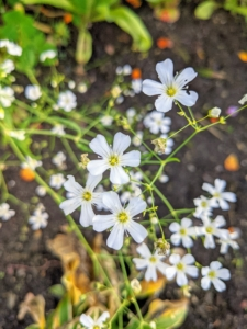 Many of you recognize baby's breath, Gypsophila paniculata. This plant may be annual or perennial, and grows white, rose, and pink, single or double blooms.