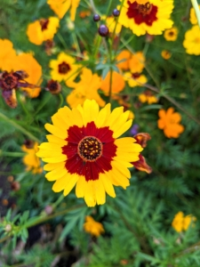 Coriopsis is native to North America, Central America, and South America. This variety has single flowers with a burgundy ring around the center disk.