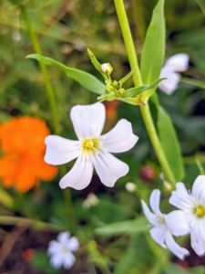 Baby's breath flowers are small and delicate with five petals each.