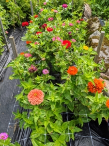 And here is a row of zinnias. Zinnias are native to the dry grasslands from the Southwestern United States to South America, and in Mexico.