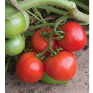 'Defiant' was bred for earliness, disease resistance, and flavor. It produces mid-size, six to eight ounce globe-shaped fruits that are smooth and medium-firm with good texture. They are deep red on the outside and inside when ripe. (Photo from Johnny's Selected Seeds)