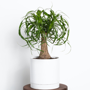 """One of the many eye-catching plants I keep in my greenhouse is the Ponytail Palm. Order your own in a charming 7"""" ceramic pot. Unfussy and low-maintenance, Ponytail Palms prefer indirect sunlight. And, since the bulbous trunk stores water, this plant can go about two weeks or more without watering."""