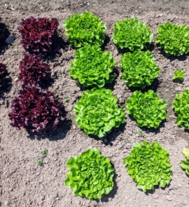 I love all the different lettuce varieties and colors and can't wait to use them for my family's many delicious salads.