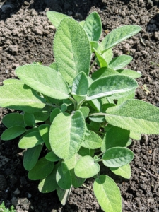 A well-growing herb in the garden is Salvia officinalis, the common sage or just sage, is a perennial, evergreen subshrub, with woody stems, grayish leaves, and blue to purplish flowers. It is a member of the mint family Lamiaceae and native to the Mediterranean region.