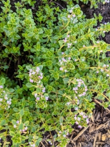 Thyme is an herb whose small leaves grow on clusters of thin stems. It is a Mediterranean herb with dietary, medicinal, and ornamental uses.