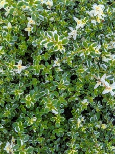 Fragrant variegated thyme is green with white leaves. It is delicious with fish or poultry and imparts a lemony flavor. Masses of pink spring blossoms attract bees while the pungent foliage helps to keep pesky bugs away.