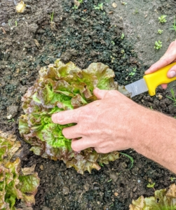 When cutting, simply cut the entire head of lettuce with the knife toward the bottom of the plant, above the soil line.