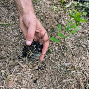 Brian and Phurba planted the crepe myrtle evenly between each of the trees along the allee. The crepe myrtle came to us in plugs. Plugs in horticulture are small-sized seedlings grown in seed trays filled with potting soil.