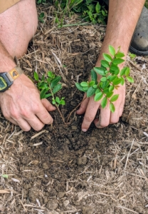 Brian plants the seedling, backfills with soil, and tamps down lightly for good contact. He places the plant at the same depth it was in its pot. Never bury a plant deeper than its crown, or where the roots and stems meet – buried crowns will suffocate the plants.