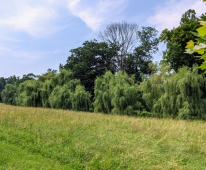 The large field is bordered on one side by a grove of weeping willow trees, Salix - graceful, refined, and easily recognized by its open crown of ground-sweeping branches. Willows grow especially well near water, and reach 30 to 40 feet tall.