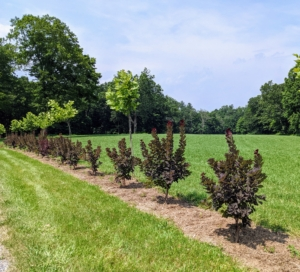Under optimal conditions, smoke bushes can add about 13 to 24 inches to its height each year. I am so pleased with how well they are growing here at the farm.